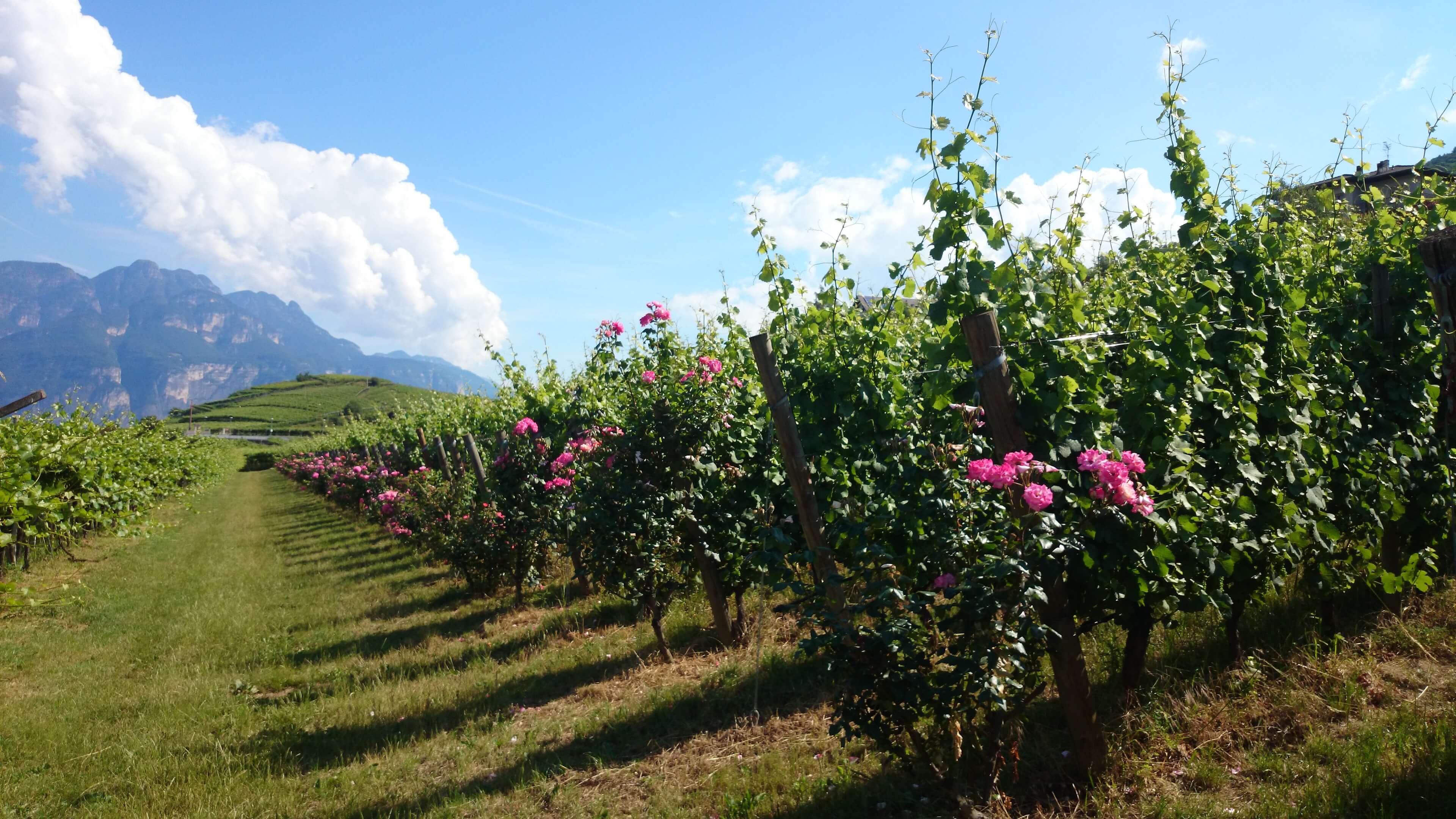 Een wijngaard op de berghellingen in Trentino