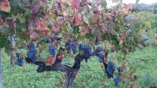 wijngaard van Girolamo Russo