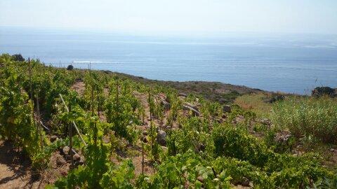 Giglio eiland wijngaarden Altura