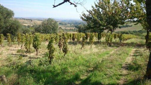 wijngaard in de Vulture Musto Carmelitano